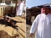 شاهد .. فيديو صادم لذئب يقتحم مزرعة مواطن بالجوف ويفتك بأغنامه