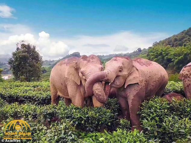 شاهد : قطيع من الفيلة في حالة غير طبيعية وسط غابة في الصين!