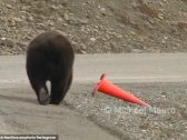 """شاهد ..  تصرف  غريب  من  """"دب ضخم """" تجاه مخروط وجده ملقى على جانب الطريق !"""