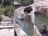 """""""انقضت عليه فجأة داخل الماء"""".. شاهد: شخص  مخمور يتسلل داخل حظيرة """"دبة"""" !"""
