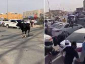 شاهد .. ثور هائج يثير الرعب في عزيزية الرياض بعد هروبه من المسلخ