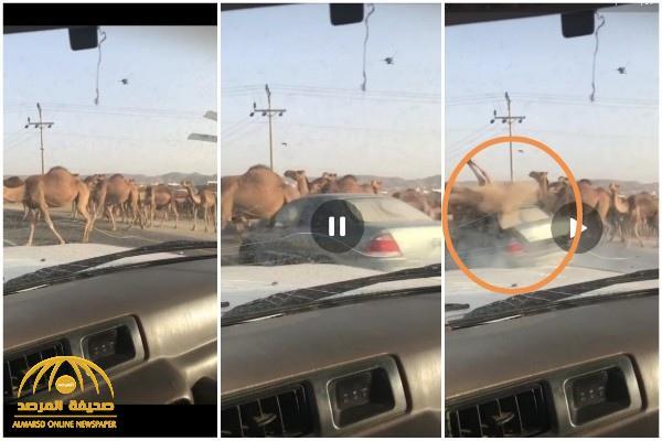 شاهد : سيارة مسرعة تدهس قطيع من الإبل