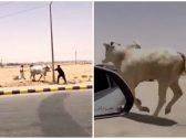 """""""كاد أن يفتك بأحد الأشخاص"""".. شاهد: مطاردة مثيرة لـ""""ثور هائج"""" هرب من المسلخ  في الرياض"""