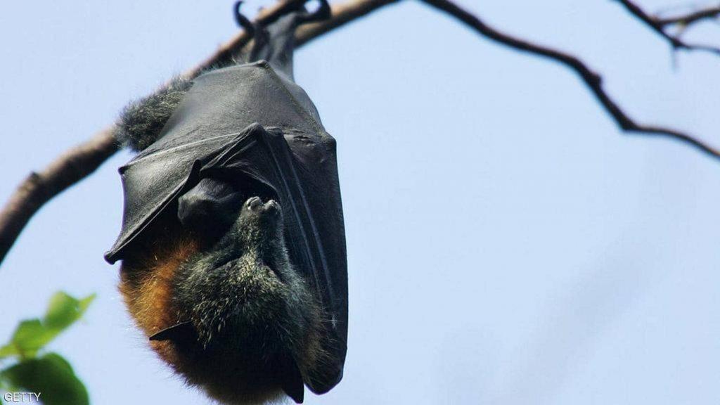 هل تسببت الخفافيش في جائحة كورونا ؟.. خبيرة بيئة تحسم الجدل