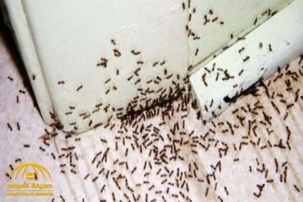 10 طرق سهلة وطبيعية لإبادة مستعمرات النمل التي تغزو منزلك!