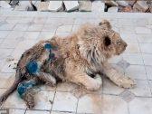 """شاهد.. فيديو مأسوي لـ """"شبل أسد"""" تعرض للتعذيب وكسر ساقيه"""