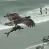 شاهد: لقطات مذهلة لطائر يحلق فوق شاطئ أمريكي .. ويحمل سمكة  ضخمة