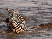 شاهد.. كيف نجا حمار الوحش من أنياب تمساحين حاولا افتراسه وسط النهر !