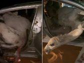 حادث مروع في حائل ..  شاهد: سائق يصطدم بقطيع من الإبل السائبة وجمل يقفز داخل السيارة بطريقة غريبة!