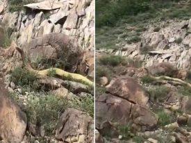 """شاهد : العثور على ثعبان ضخم في منطقة جبلية .. وهذا ما حدث عندما قال له المصور """"إن كنت جني تفلح"""""""